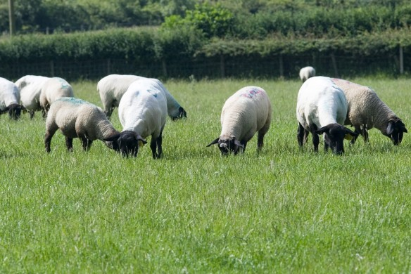 grazing-sheep
